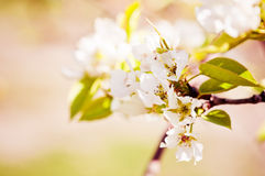 Blooming branch of apple tree Royalty Free Stock Image