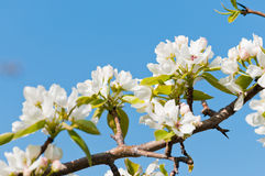 Blooming branch of apple tree Royalty Free Stock Photos