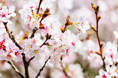 A blooming branch of apple tree Royalty Free Stock Image