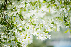 A blooming branch of apple tree Royalty Free Stock Photography