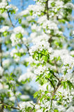 A blooming branch of apple tree Royalty Free Stock Images