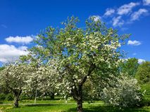 Blooming branch of apple tree Royalty Free Stock Photo