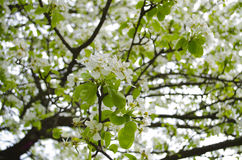 A blooming branch of apple tree in spring. ! Royalty Free Stock Photos