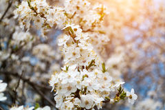 A blooming branch of apple tree in spring with glare of sunlight in the sunset. Blurred background Stock Images