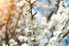 A blooming branch of apple tree in spring with glare of sunlight in the sunset. Blurred background Stock Image