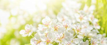 A blooming branch of apple tree in spring Royalty Free Stock Photos