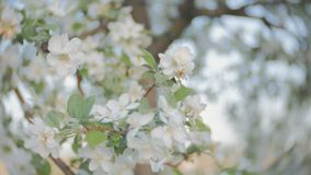 Apple blossom, branches with white flowers, young leaves, blue sky. sunny day. A blooming branch of apple tree in spring with light wind. Blossoming apple with stock video footage