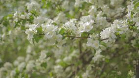 A blooming branch of apple tree in spring with light wind. Blossoming apple with beautiful white flowers. Branch of. Apple tree in bloom in the spring in stock video