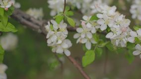 A blooming branch of apple tree in spring with light wind. Blossoming apple with beautiful white flowers. Branch of. Apple tree in bloom in the spring in stock video footage