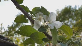 A blooming branch of apple tree in spring with light wind. Blossoming apple with beautiful white flowers. Branch of. Apple tree in bloom in the spring in stock footage
