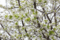 Blooming branch of apple tree in spring Royalty Free Stock Photography