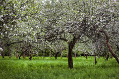 Blooming branch of apple tree in spring Royalty Free Stock Image