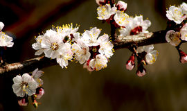 Blooming branch of the apricot tree.  Stock Images