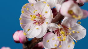 Blooming branch of apricot tree stock video footage