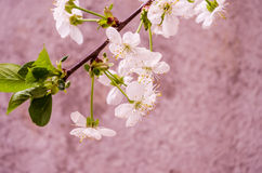 Blooming branch background. Floral background with blooming tree Royalty Free Stock Images