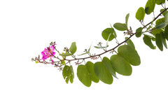 Blooming branch of bauhinia tree Stock Image