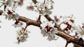 Blooming branch stock footage