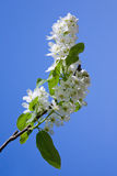 Blooming branch of bird-cherry tree Stock Photo