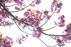 Blooming Branch Stock Photography