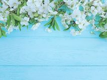 Blooming branch of cherry on a blue wooden background, frame royalty free stock images