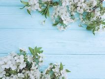 Blooming branch of cherry design on a blue wooden background, frame royalty free stock images