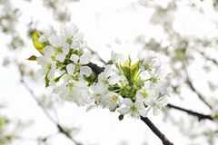 Blooming branch of cherry in the spring closeup Stock Photography