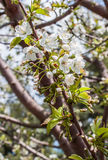 Blooming branch of cherry in the spring closeup Royalty Free Stock Photos