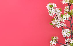 Blooming branch of cherry, spring flowers on red background Stock Photos