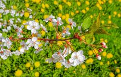 Blooming branch of cherry tree on background of green meadows with dandelions royalty free stock photos