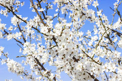 Blooming branch of cherry tree Stock Photos