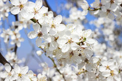 Blooming branch of cherry tree. Stock Photos