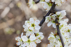 Blooming branch of cherry tree. Royalty Free Stock Photo