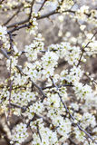 Blooming branch of cherry tree. Royalty Free Stock Images