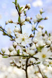 Blooming branch of cherry tree. Royalty Free Stock Photos