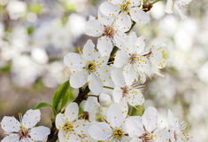 Blooming branch of cherry tree. Stock Photo