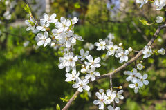 Blooming branch of cherry tree. Stock Image