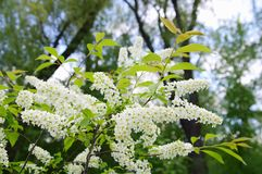 Blooming branch of cherry tree (lat.Prunus padus), closeup Stock Photos