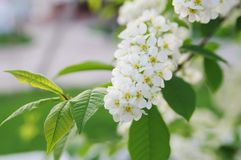 Blooming branch of cherry tree Stock Photo
