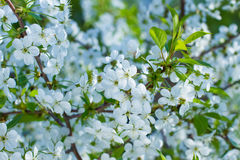Blooming branch of cherry. Royalty Free Stock Photos