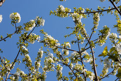 Blooming branch of cherry tree in spring Stock Photography