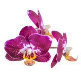 Blooming branch of dark purple with white orchid, phalaenopsis i Stock Photos