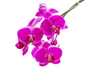 Blooming branch of dark violet orchid with white bandlet royalty free stock image