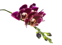 Blooming branch deep purple with drops orchid Stock Photo