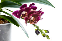 Blooming branch deep purple with drops orchid Stock Photos