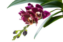 Blooming branch deep purple with drops orchid, phalaenopsis Stock Photo
