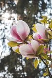 The blooming Magnolia branch. The blooming Magnolia. In sunny spring weather, beautiful, beauty, blossom, forest, forestry, fresh, gentle, leaves, park, pink royalty free stock photography