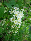 Blooming branch with flowers of bird cherry. Royalty Free Stock Photos