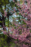Blooming branch with flowers in spring. Blooming branch with flowers of peach tree in spring in the park Royalty Free Stock Photography