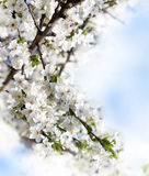 Blooming branch of fruit tree Royalty Free Stock Images