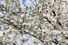 Blooming branch of fruit tree Royalty Free Stock Photos